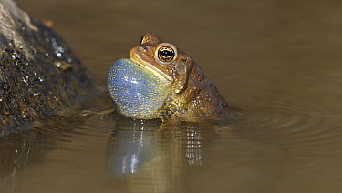 American toad (Anaxyrus americanus), male with vocal sac inflated calling to attract female, Maryland, USA. April.