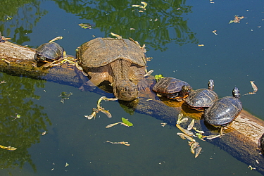 Snapping turtle (Chelydra serpentina) and painted turtles (Chrysemys picta) basking, Maryland, USA. May.