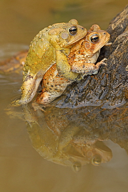 American toad (Anaxyrus americanus), pair in amplexus, Maryland, USA. April.