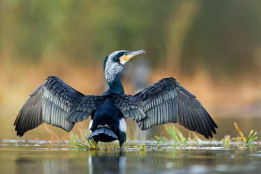 Great cormorant (Phalacrocorax carbo) with wings drying, Mayenne, France, February.