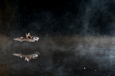 Brown big eared bat (Plecotus auritus) flying at night, reflected in water, Normadny, France, July.