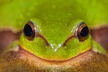 Green tree frog (Hyla arborea) close up portrait, Mayenne, France, May.