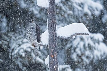 Goshawk (Accipter gentilis) perched on snowy branch, Alps, France. February.