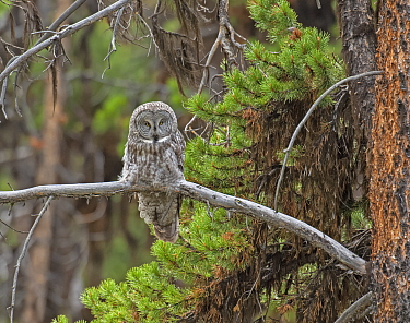 Great Gray Owl (Strix nebulosa) perched on branch, Yellowstone National Park, Wyoming, USA. .