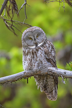 Great gray owl (Strix nebulosa) perched on branchm Yellowstone National Park, Wyoming, USA.