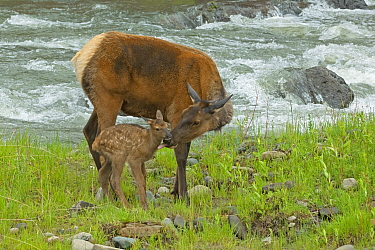 Elk (Cervus canadensis) female licking newborn calf, . Yellowstone National Park, Wyoming, USA.