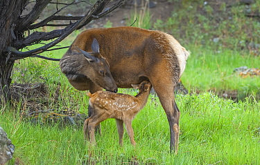 Elk (Cervus canadensis) female with newborn calf suckling, Yellowstone National Park, Wyoming, USA.