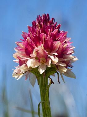 Dark vanilla orchid (Gymnadenia rhellicani). Seiser Alm / Alpe di Siusi, Dolomites, South Tyrol, Italy. July.