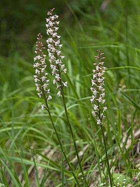 Alpine fragrant orchid (Gymnadenia odoratissima) at 2200m. Valparola Pass, near Cortina, Dolomites, Bellunto, Italy. July.