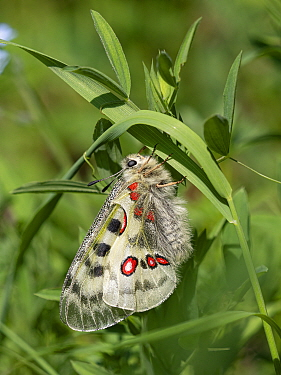 Apollo butterfly (Parnassius apollo) resting on Grass. Dolomites, Italy. June.