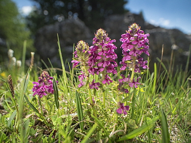 Verticillate lousewort (Pedicularis verticillata). Fassa Valley, Dolomites, Trentino, Italy. June.