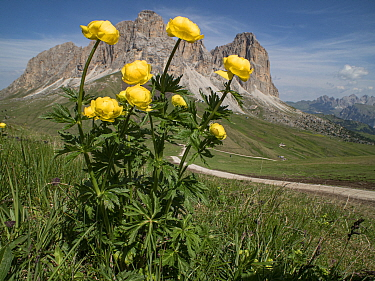 Globeflower (Trollius europaeus) in grassland, mountains and track in background. Fassa Valley, Dolomites, Trentino, Italy. June 2017.