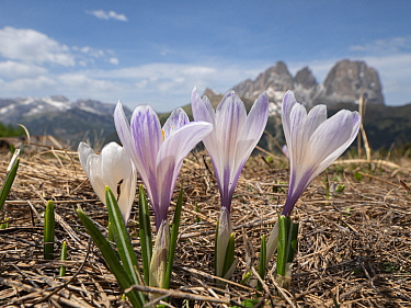 White crocus (Crocus vernus albiflorus), mountains of the Sella massif in background. Dolomites, Italy. June.