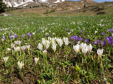 White crocus (Crocus vernus albiflorus) in alpine meadow in spring. Sella massif, Dolomites, Trentino-Alto Adige, Italy. June 2019.