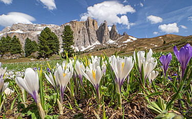 White crocus (Crocus vernus albiflorus) in grassland, mountains of Sella massif in background. Dolomites, Trentino-Alto Adige, Italy. June 2019.
