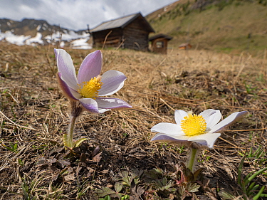 Spring pasqueflower (Pulsatilla vernalis) in grassland, mountain huts in background. Dolomites, Italy. June 2019.