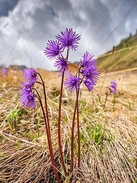 Alpine snowbell (Soldanella alpina) in grassland in spring. Dolomites, Italy. June.
