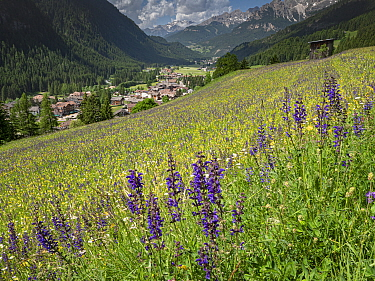 View across species rich alpine meadow to Campitello di Fassa, flowers include Meadow clary (Salvia pratensis) and Yellow rattle (Rhinanthus sp). Dolomites, Trentino, Italy. June 2019.