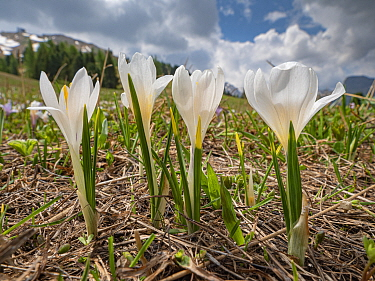 White crocus (Crocus vernus albiflorus). Sella massif, Dolomites, Trentino-Alto Adige, Italy. June 2019.
