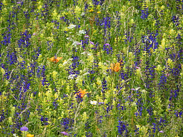 Species rich alpine meadow, flowers including Meadow clary (Salvia pratensis), Yellow rattle (Rhinathus sp) and Orange lily (Lilium bulbiferum). Fassa Valley, Dolomites, Italy. June 2019.