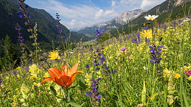 Species rich alpine meadow with Orange lily (Lilium bulbiferum), Meadow clary (Salvia pratensis), Yellow rattle (Rhinathus sp) and Oxeye daisy (Leucanthemum vulgare). View towards Campitello di Fassa...