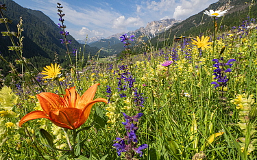 Species rich alpine meadow with Orange lily (Lilium bulbiferum), Meadow clary (Salvia pratensis) and Yellow rattle (Rhinathus sp). View towards Campitello di Fassa and mountains, Fassa Valley, Dolomit...