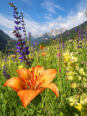 Orange lily (Lilium bulbiferum) in species rich alpine meadow alongside Meadow clary (Salvia pratensis) and Yellow rattle (Rhinathus sp), mountains in background. Fassa Valley, Dolomites, Italy. June...