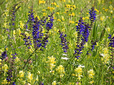 Meadow clary (Salvia pratensis) and Yellow rattle (Rhinathus sp) flowering in alpine meadow. Fassa Valley, Dolomites, Italy. June.
