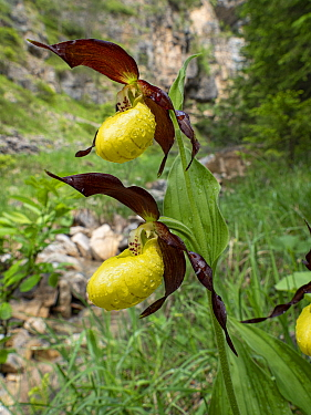 Lady's slipper orchid (Cypripedium calceolus). Fassa Valley, Dolomites, Trentino, Italy. June.