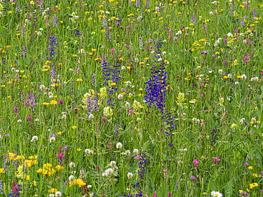 Species rich alpine meadow with flowers including Meadow clary (Salvia pratensis), Yellow rattle (Rhinathus sp), Sainfoin (Onobrychis arenaria), Bird's-foot trefoil (Lotus sp), Clover (Trifolium s...