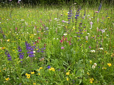 Species rich alpine meadow including Sainfoin (Onobrychis arenaria), Meadow clary (Salvia pratensis), Clovers (Trifolium spp), Hoary plantain (Plantago media), Bird's-foot trefoil (Lotus sp) and Y...