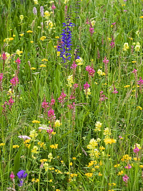 Alpine meadow with Sainfoin (Onobrychis arenaria), Meadow clary (Salvia pratensis), Yellow rattle (Rhinathus sp) and Bird's-foot trefoil (Lotus sp). Dolomites, Italy. June.