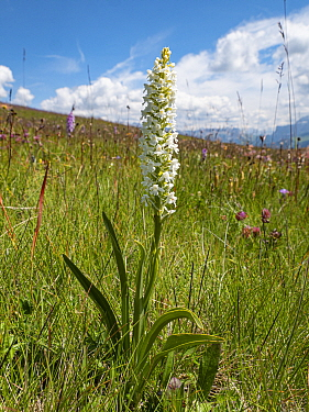 Fragrant orchid (Gymnadenia conospsea var alba), an albino variety found where there are large populations of the species. Seiser Alm / Alpe di Siusi, alpine meadow, Dolomites, South Tyrol, Italy. Jul...