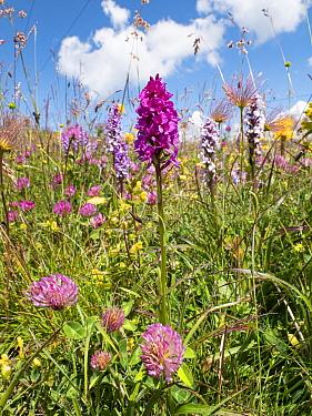 Alpine meadow with Hybrid vanilla orchid (Gymnadenia x suaveolens), a hybrid between Fragrant orchid (Gymnadenia conopsea) and Black vanilla orchid (Gymnadenia rhellicani). Seiser Alm / Alpe di Siusi,...