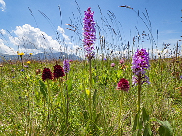 Alpine vanilla orchid (Gymnadenia nigra), Fragrant orchid (Gymnadenia conopsea) and Black vanilla orchid (Gymnadenia rhellicani) in alpine meadow, Seiser Alm / Alpe di Siusi, Dolomites, South Tyrol, I...