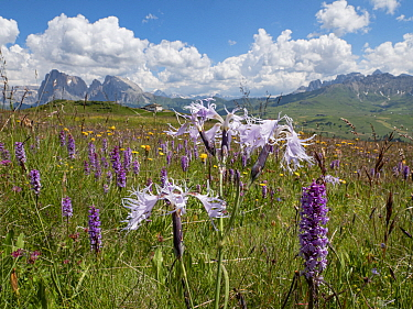 Fringed pink (Dianthus superbus alpestris) flowering in alpine meadow amongst Fragrant orchid (Gymnadenia conopsea). Seiser Alm / Alpe di Siusi with view to mountains, Dolomites, South Tyrol, Italy. J...
