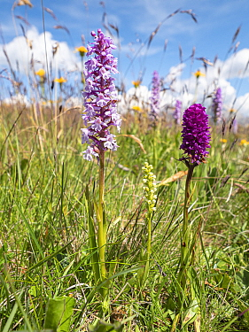 Fragrant orchid (Gymnadenia conopsea), Small white orchid (Pseudorchis albida) and Vanilla orchid hybrid (Gymnadenia x suaveolens), a hybrid between Fragrant orchid and Black vanilla orchid (Gymnadeni...