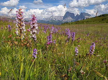 Fragrant orchid (Gymnadenia conopsea) flowering in alpine meadow, mountains in background. Seiser Alm / Alpe di Siusi, Dolomites, South Tyrol, Italy. July 2019.