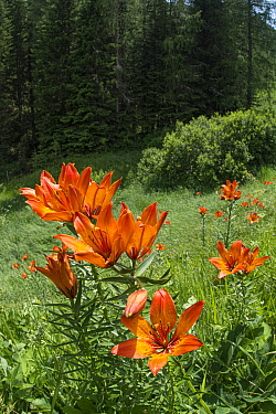 Orange lily (Lilium bulbiferum) in meadow above coniferous forest. Passo Gardena, Colfosco, South Tyrol, Italy. June.