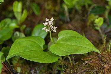 May lily (Maianthemum bifolium). Fassa Valley, Dolomites, Trentino, Italy. June.