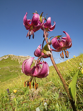 Martagon lily (Lilium martagon) in alpine meadow at 2200m. Valparola Pass, near Cortina, Dolomites, Belluno, Italy. July 2016.