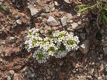 Chamois cress (Hornungia alpina) at 2762m. Near Refugio Lagazuoi, Falzarego Pass, Cortina, Dolomites, Italy. July.