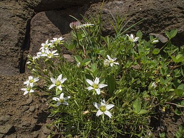 Large-flowered sandwort (Arenaria grandiflora). Sella, Dolomites, Italy. June.