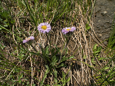 One-flowered fleabane (Erigeron uniflorus). Col di Rodella, Fassa Valley, Dolomites, Italy. June.