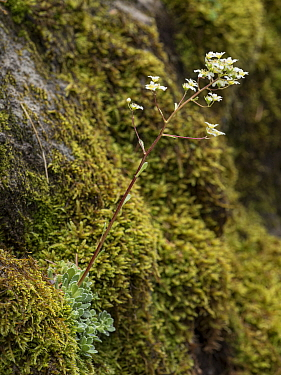 Livelong saxifrage (Saxifraga paniculata) growing on Moss covered rock .Fassa Valley, Dolomites, Trentino, Italy. June.