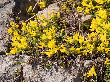 Vitaliana (Androsace vitaliana). Above Campitello di Fassa, Dolomites, Trentino, Italy. June.