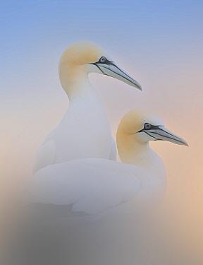 Gannet (Morus bassanus) Saltee Islands, County Wexford, Republic of Ireland, June