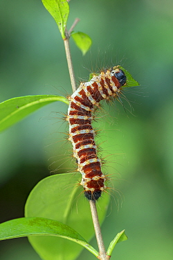 Angled Batwing moth (Holocernia angulata) larva, Obout Village Cameroon. Controlled conditions