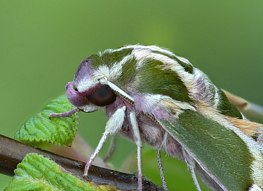 Madder hawkmoth (Rethera komarovi) Charyn, Kazakhstan, April. Controlled conditions