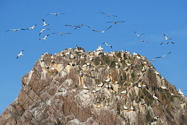 Gannets (Morus bassanus) flock flying, Makestone Islet, Great Saltee Island, Great Salteee Island, Co. Wexford, Ireland, May